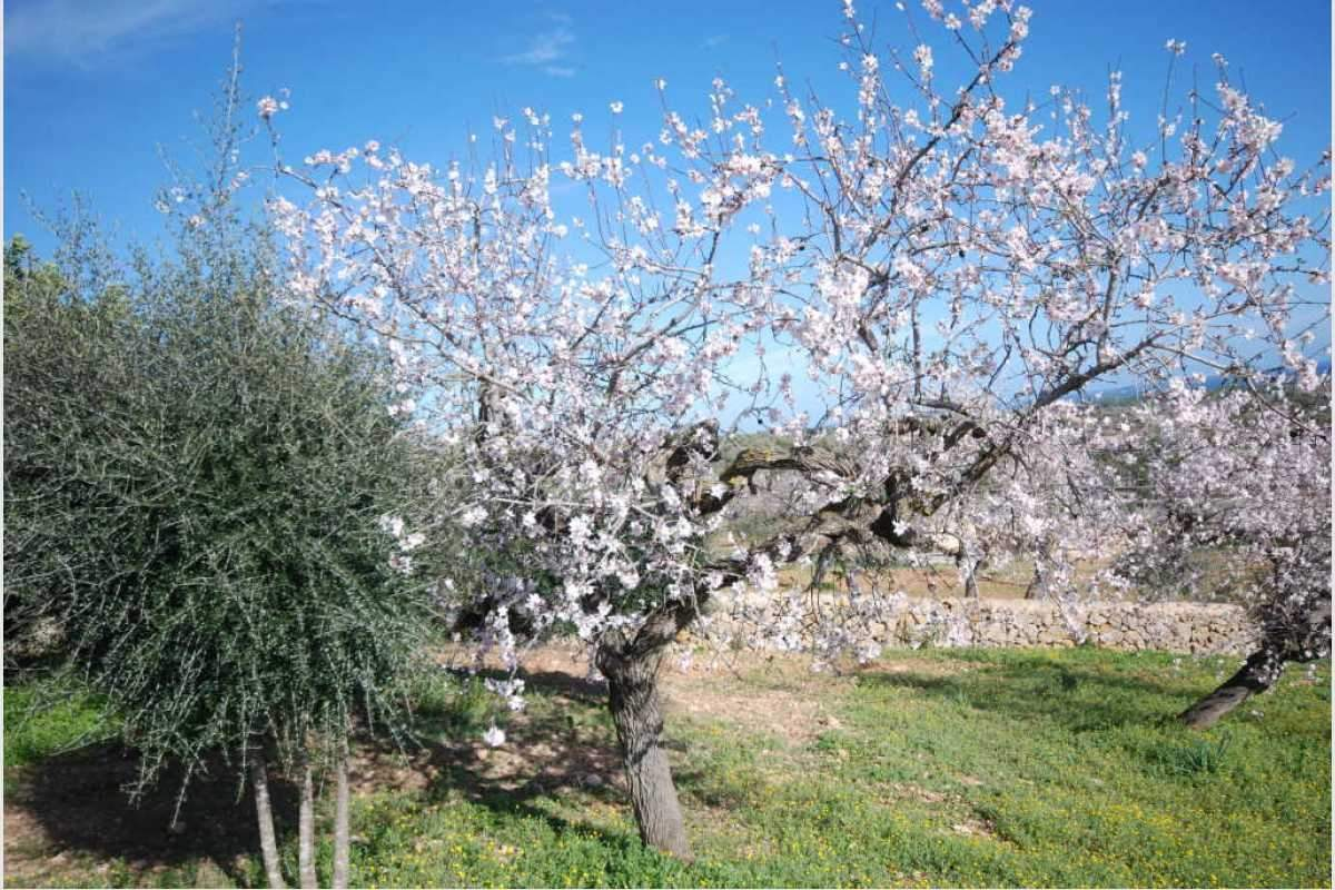 Schöner Garten Mandelblüte Haus Shorta Mallorca
